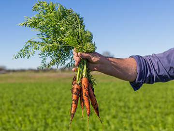 Fresh carrots from the farm at Kalbar South of Brisbane